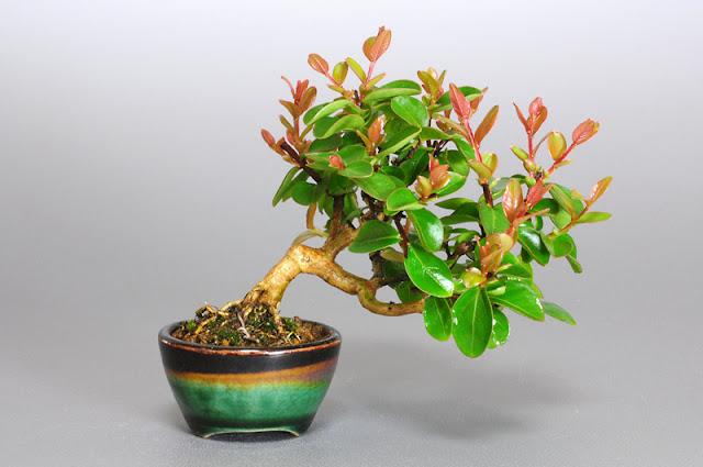 サルスベリ-N1-1(百日紅 豆盆栽 )Lagerstroemia indica bonsai