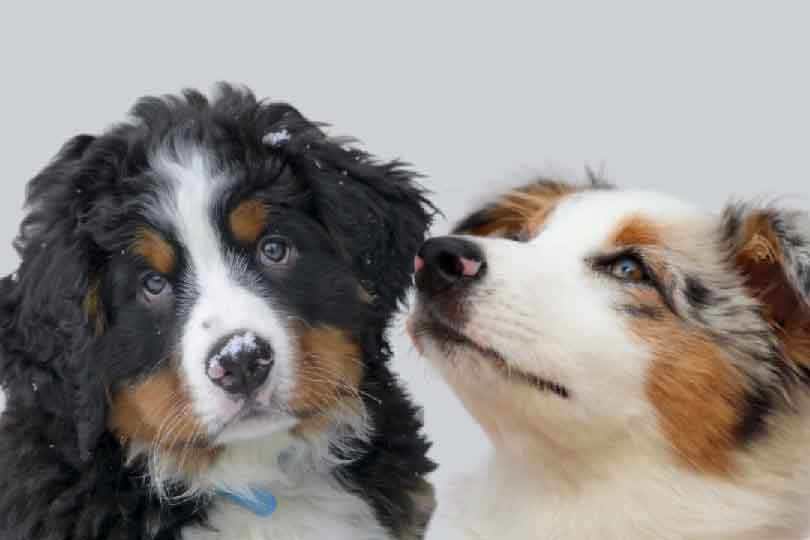 Bouvier Bernois, berger australien, race de chien, les animaux de la compagnie, chien de compagnie, races de chiens, chiot, aussies, australian shepherd, berger américain miniature, chien de chasse,