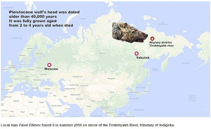 40,000 Years Old Giant Wolf's Head Discovered In Yakutia