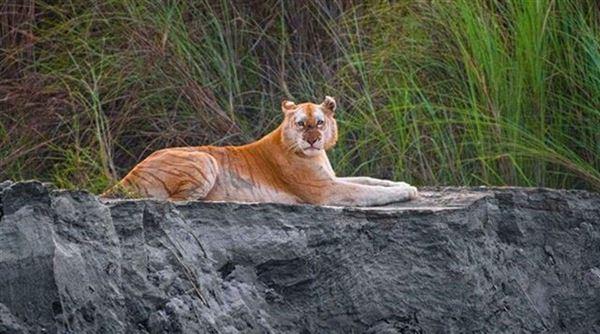 Χρυσή τίγρης: Ένα μοναδικό πλάσμα κατεγράφη ζωντανό στην άγρια φύση (pic)