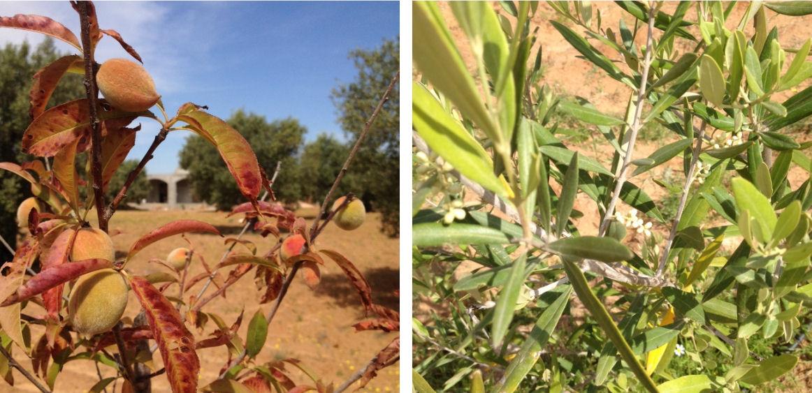 Olivodling i Tunisien