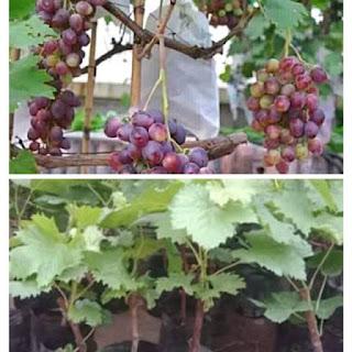 jual-bibit-anggur-merah.jpg