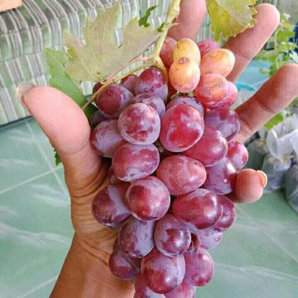 Bibit tanaman anggur merah super manis cocok untuk halaman rumah Sulawesi Utara
