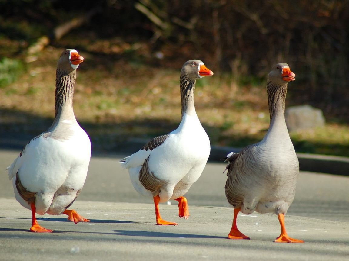 Funny Goose wallpaper for desktop  Funny Animal