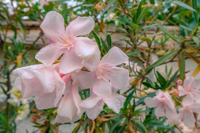 beautiful pink oleander flowers