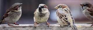 Sparrow-in-Hindi