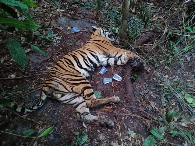 Harimau Sumatra yang terancam punah ditemukan mati, terjerat di Riau