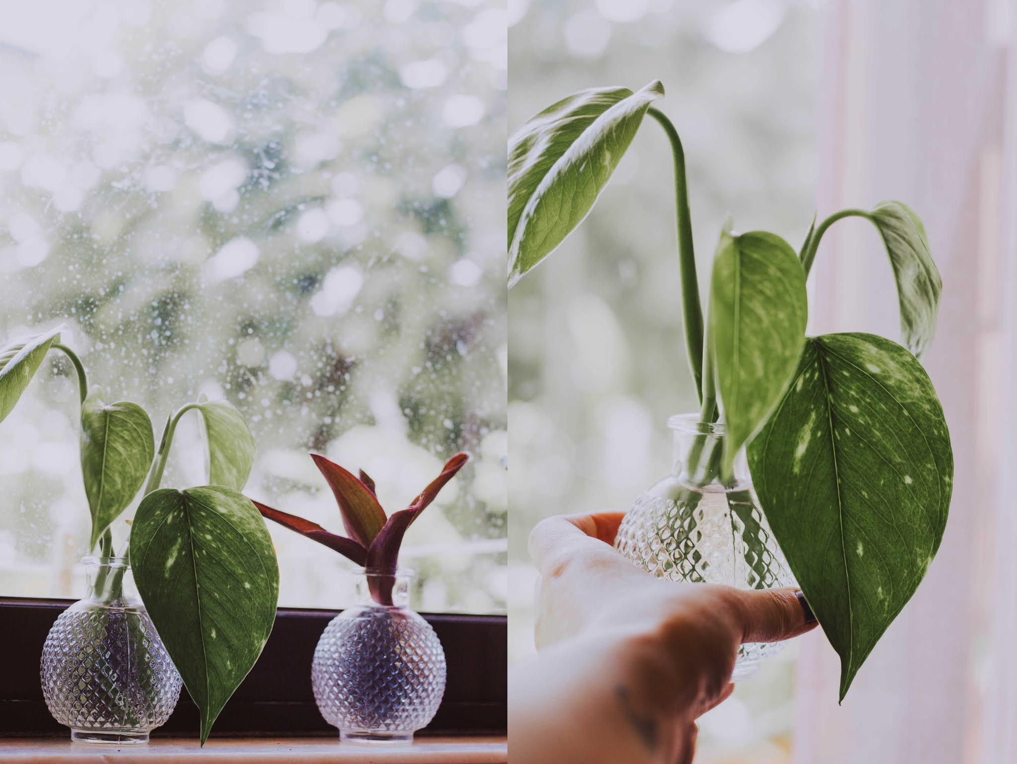 pothos water propagation