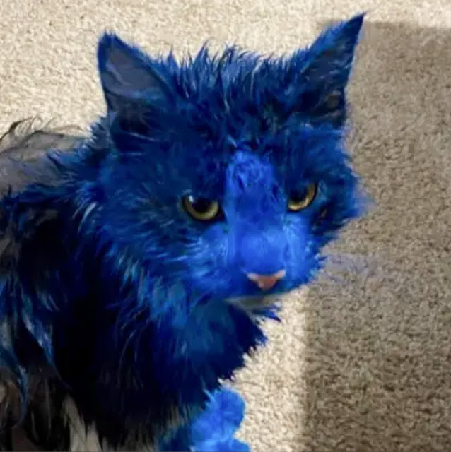 Couple of cats in Western Australia painted with sticky blue paint