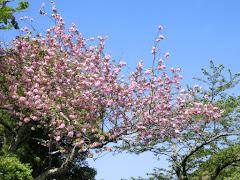 成就院の八重桜
