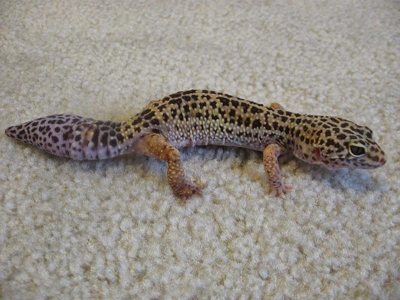 Halloween Mask Leopard Gecko.Leopard Gecko Facts