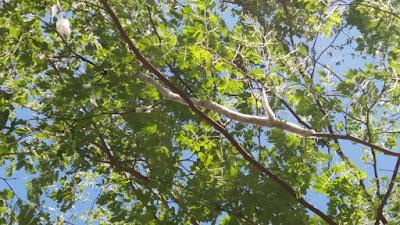 Árvore que produz 'gelo' em pleno calor chama a atenção em cidade do Piauí