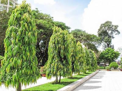 Jual Pohon Glogok Tiang Tinggi 1, 2 Meter dan 3 Meter