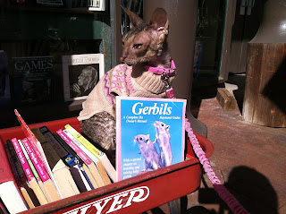 Kely the Cornish Rex in a red wagon