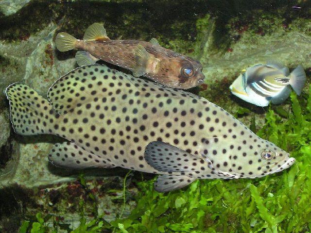 Ikan Kerapu Bebek