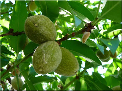 almond tree with young almond fruit