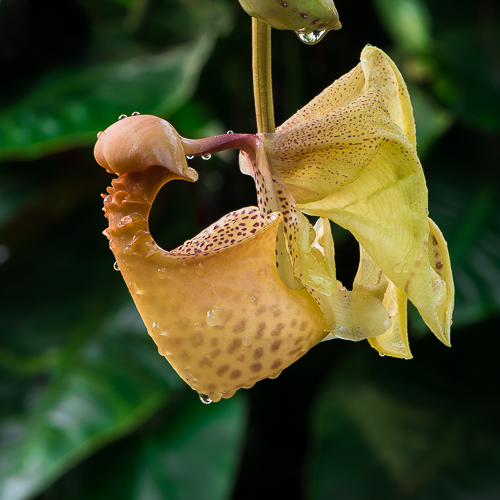 Now opening: Coryanthes macrantha