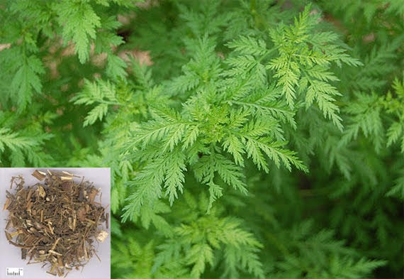 Artemisia apiacea