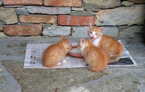 Susu Manusia Yang Cocok Untuk Anak Kucing Hobinatang