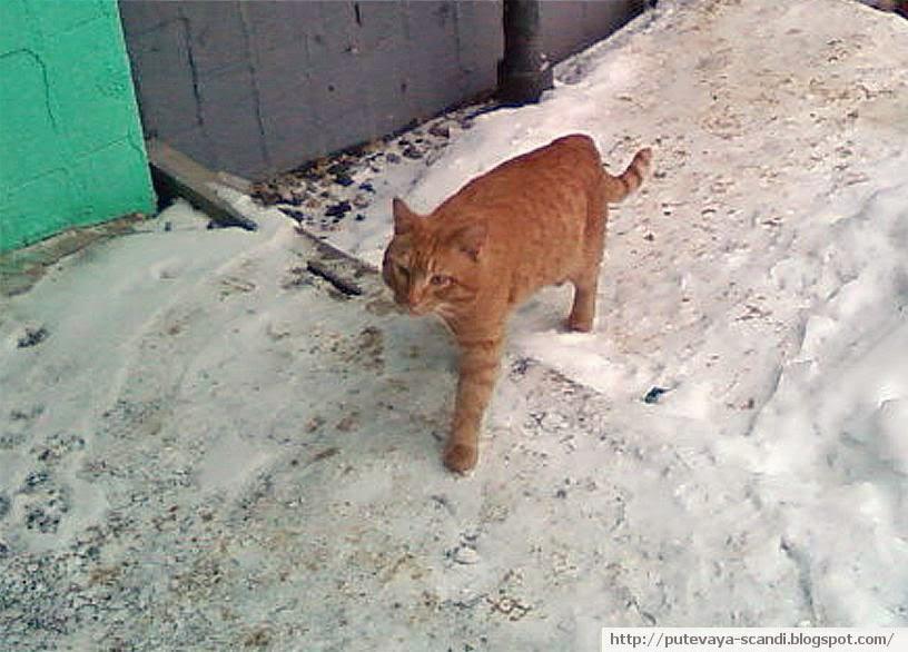 местный кот-бандюган