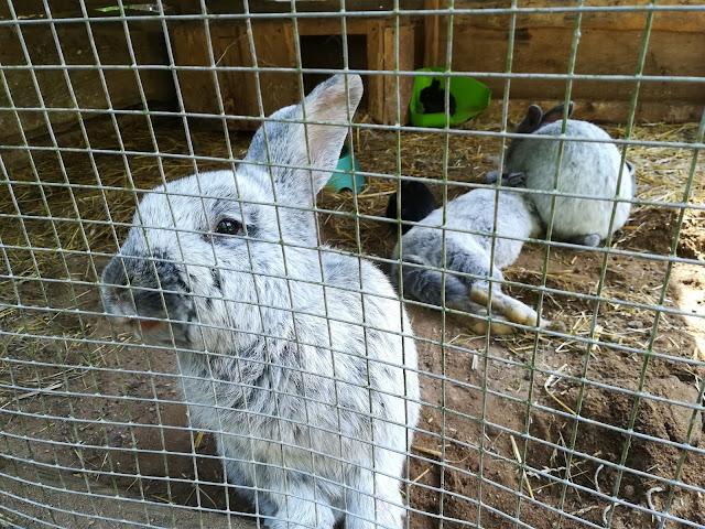 króliki Olsztyn