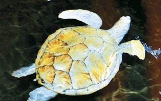 albino turtle kosgoda