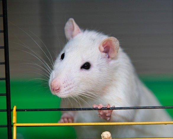 Investigação aponta que China criou ratos com pulmões humanos para testar vírus Sars.