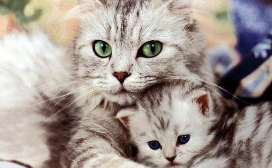 Cara Merawat Induk Kucing yang Baru Melahirkan