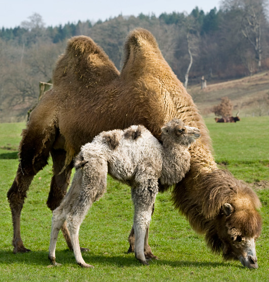 Baby Animals: Camel - Calf 27