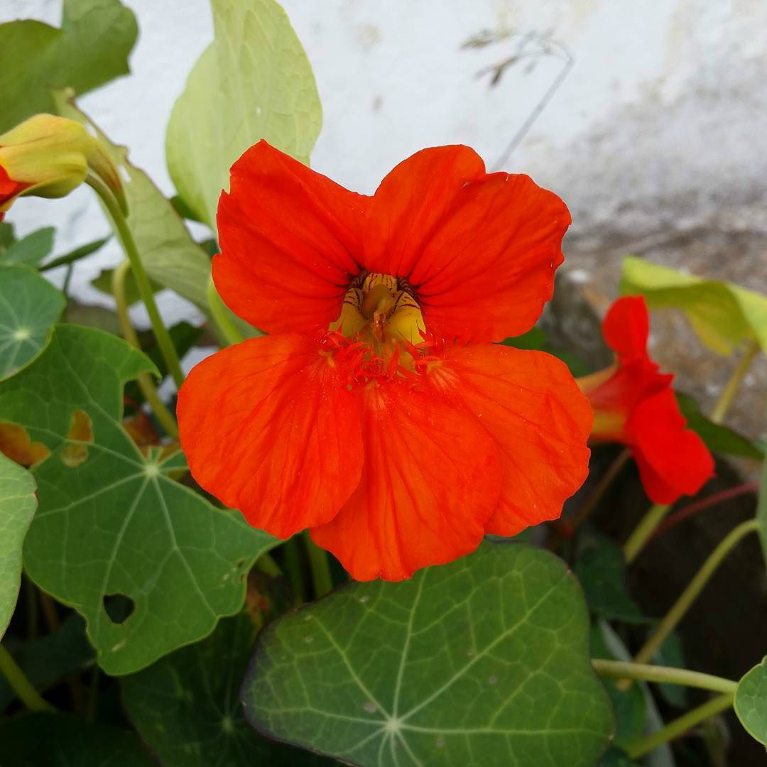 This Little Big Life: Nasturtium