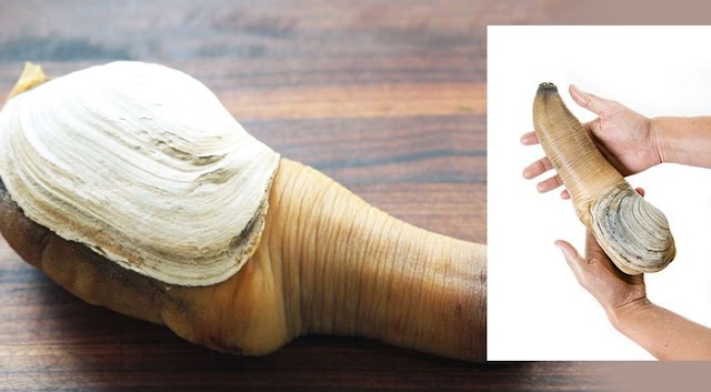 Pacific Geoduck: Lifespan 150 years; the world's largest clam