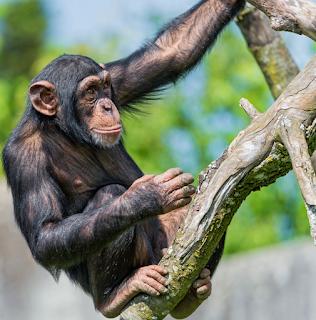 hewan terpintar dan tercerdas di dunia - simpanse