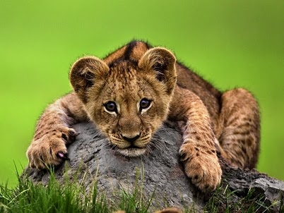 Beautiful Animals Safaris: Lion Cubs and Young Male Lions in