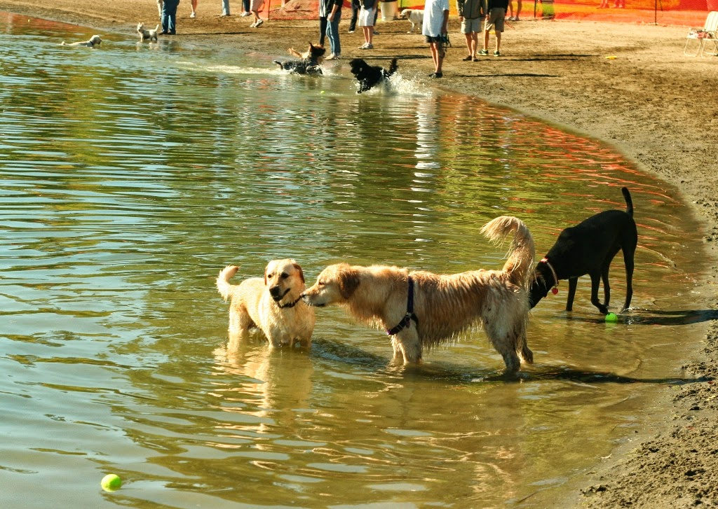 cabana standing in the water as a golden retriever sniffs her neck, cabana looks like she's smiling, there are other dogs and humans sprinkled around the water's edge
