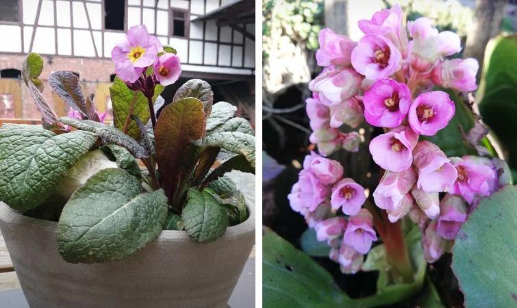 Frühling im Hof: Primel und Bergenie blühen