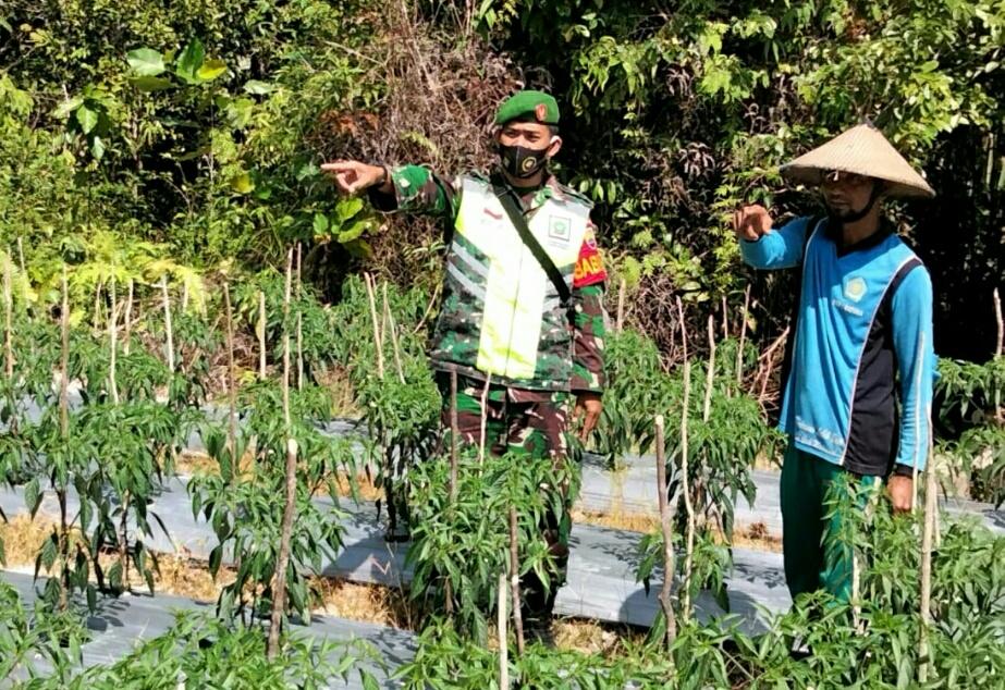 Lakukan Komsos Dengan Petani Warga Desa Tapau, Babinsa Dedi Sumaedi Memberi Support Untuk Meningkatkan Produksi Pertanian
