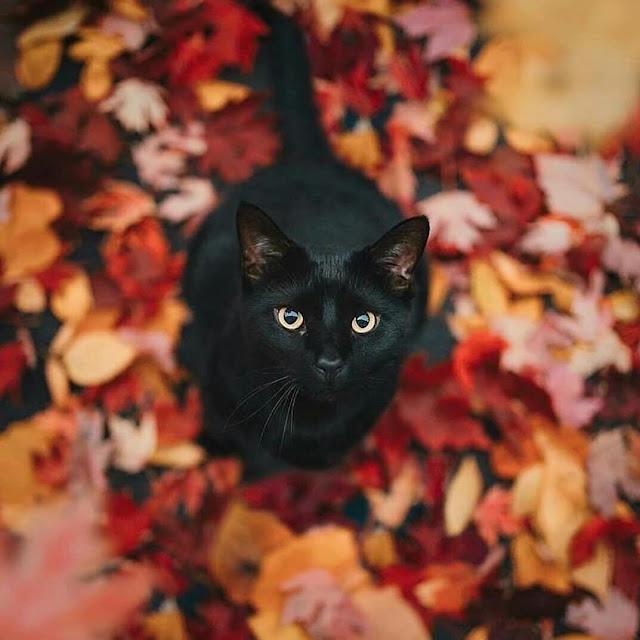 Kumpulan gambar kucing hutan hitam garang