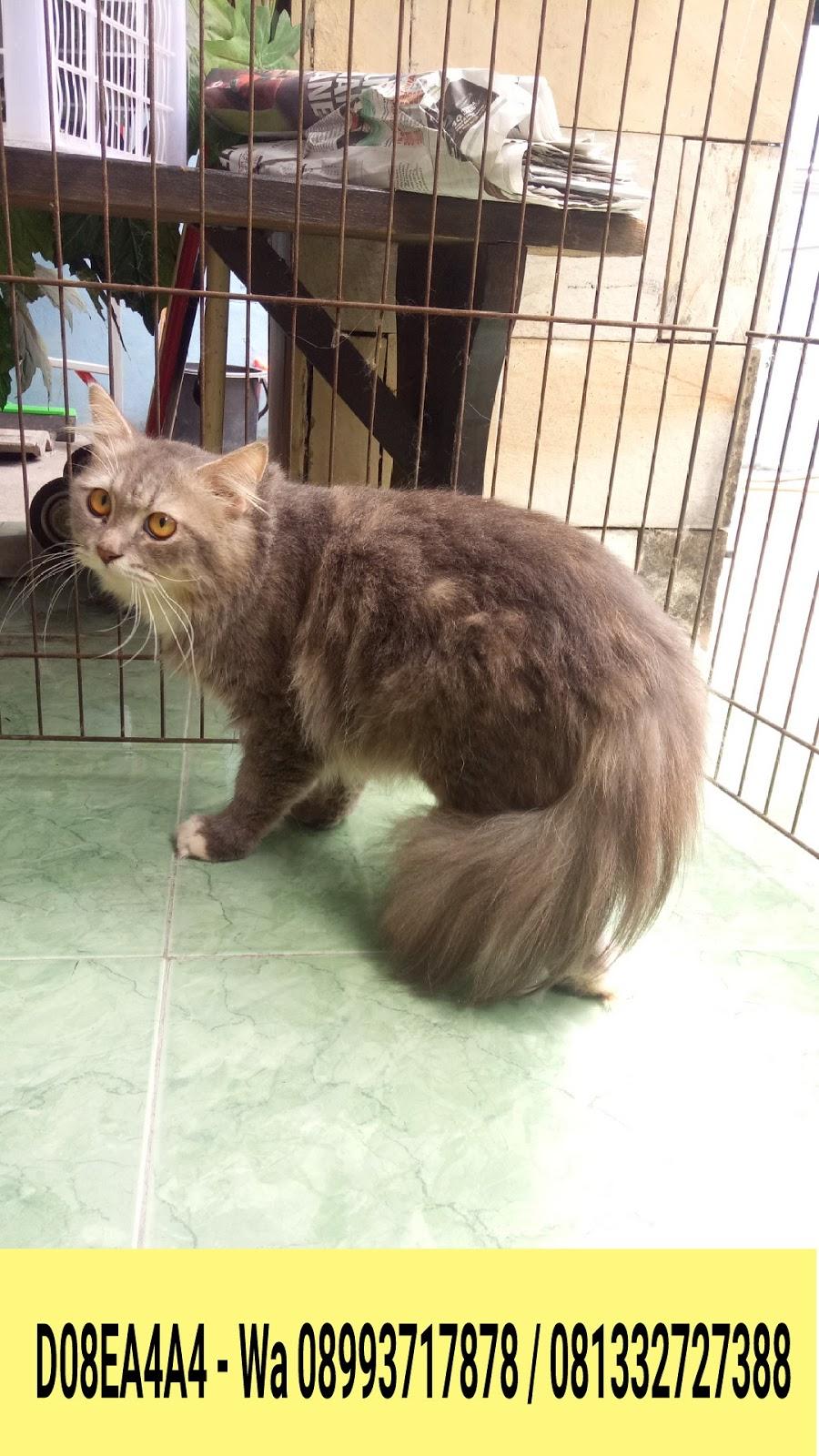 Hamster Dan Kucing Persia Murah Surabaya Kucing Norwegian