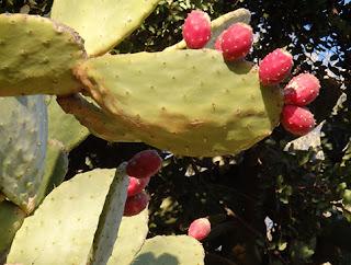 Chumbera (Opuntia ficus-indica)