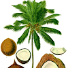 Coconut fruit for health benefits (The Old Coconut)