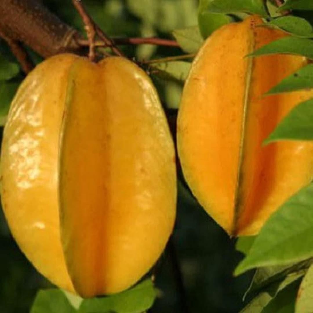 Obral! Bibit tanaman buah Belimbing Madu Kota Malang #bibit buah genjah
