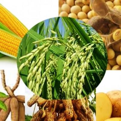 jagung, ubi, kacang, padi, nasi, wrp diet