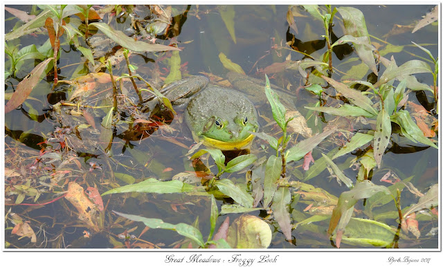 Great Meadows: Froggy Look