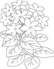gambar sketsa bunga melati