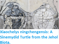 http://sciencythoughts.blogspot.co.uk/2015/12/xiaochelys-ningchengensis-sinemydid.html