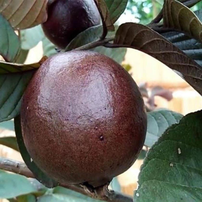 bibit buah jambu biji merah Australia Dumai