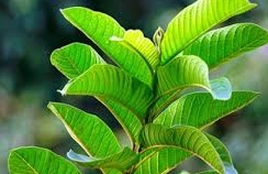 Cara Menghilangkan jerawat atau bekas jerawat dengan daun jambu biji