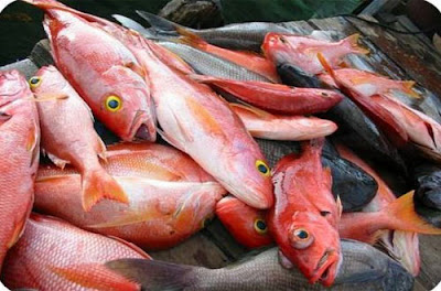 Cara Budidaya Ikan Kakap