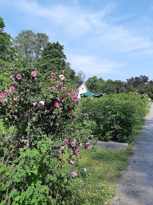 Ruusupensaita Hatanpään Arboretumissa