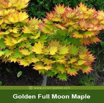 ciri ciri pohon Golden Full Moon Maple